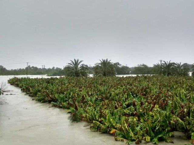 سیل 70 درصد باغات موز جنوب سیستان وبلوچستان را تخریب نموده است