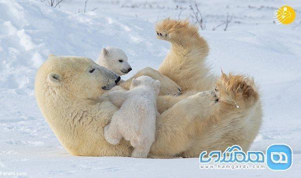 بازیگوشی توله های خرس قطبی در سرمای منفی 40 درجه