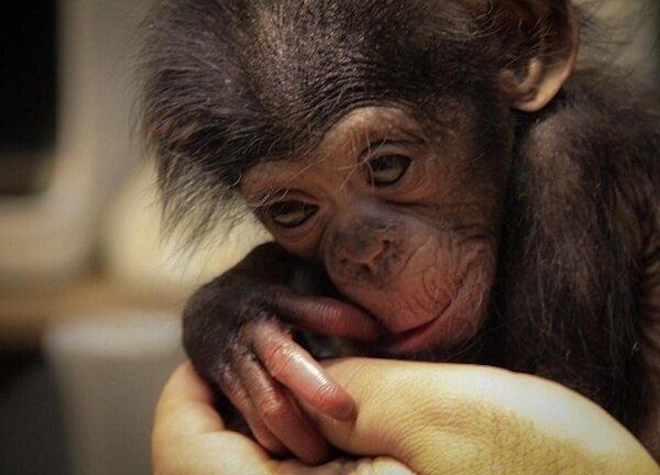 نامه باغ وحش ارم به سازمان محیط زیست درباره یک شامپانزه