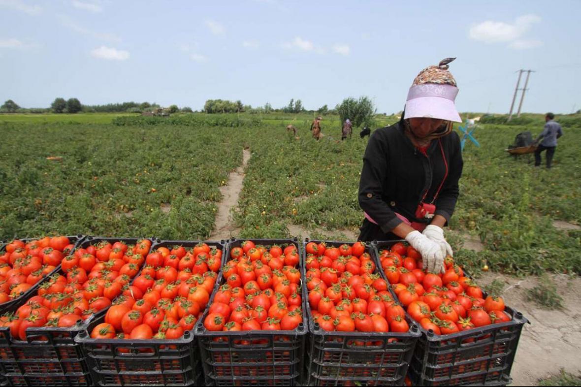 خبرنگاران پیش بینی افزایش برداشت گوجه فرنگی در فاروج