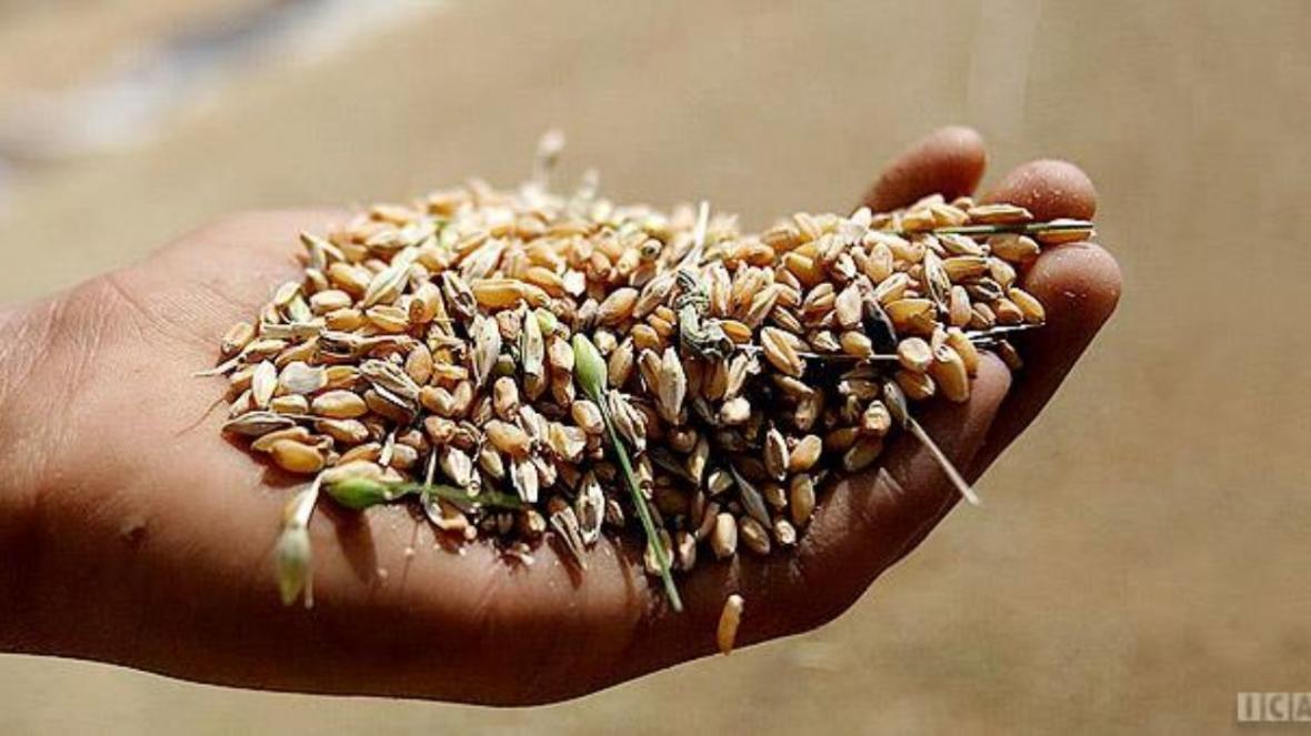 افزایش قیمت بذر اصلاح شده گندم