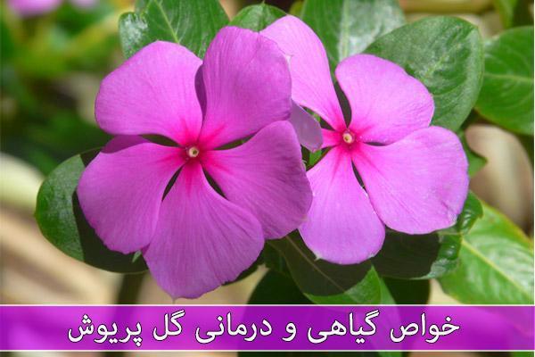 خواص گل پریوش (پروانش) در طب سنتی چیست؟
