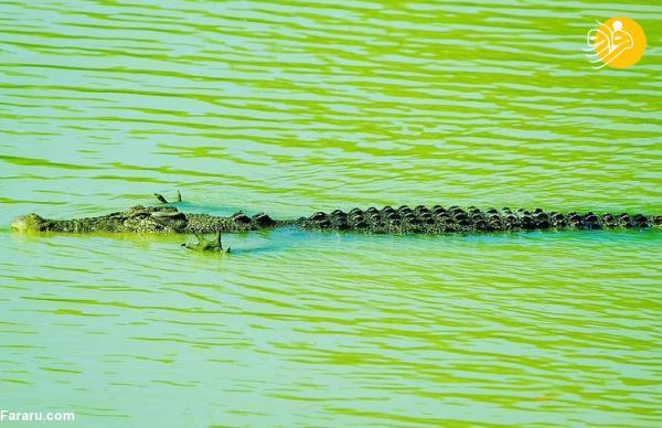 (تصاویر) کمین خاص تمساح در آب