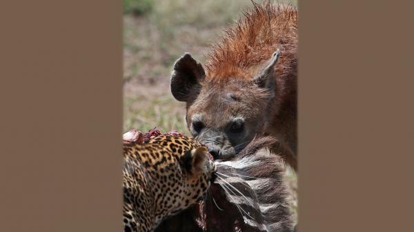 درگیری پلنگ و کفتار بر سر شکار